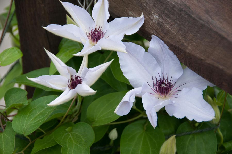 11-gallery-Clematis-New-Hampshire