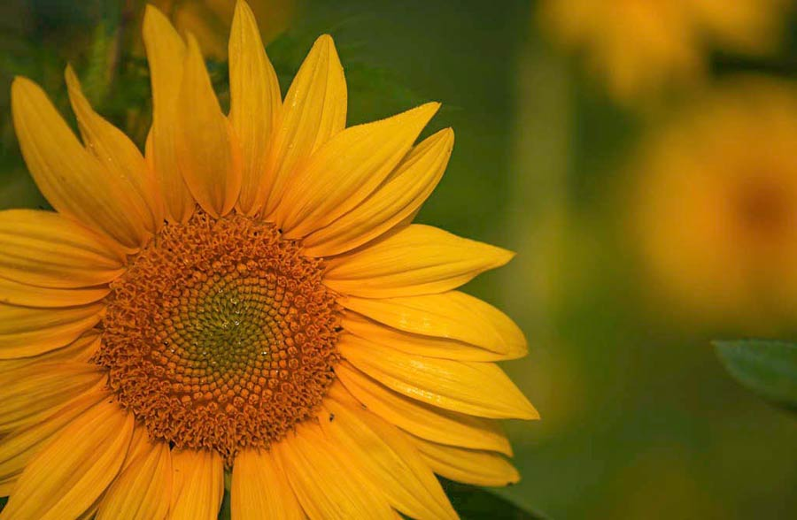 1gallery-Sunflower-at-Rosedale-Farm.